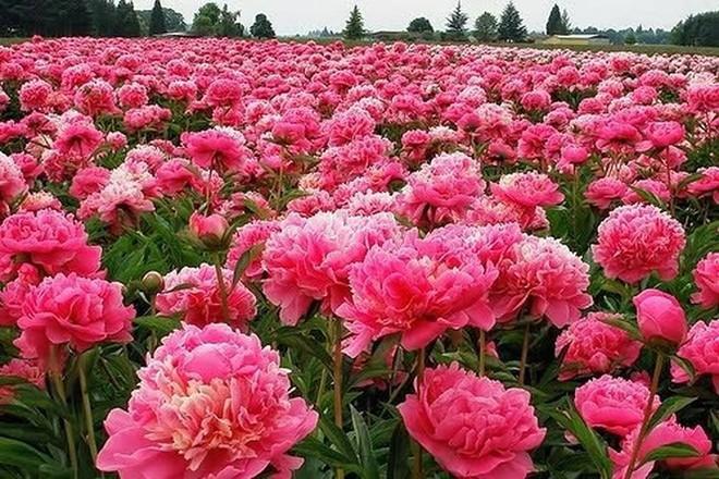Các loại hoa ngày Tết mang lại may mắn và hạnh phúc cho gia chủ - Ảnh 4.