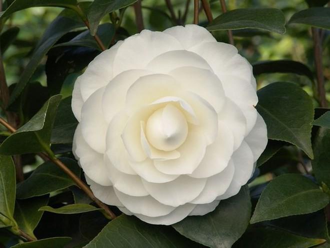 Các loại hoa ngày Tết mang lại may mắn và hạnh phúc cho gia chủ - Ảnh 7.