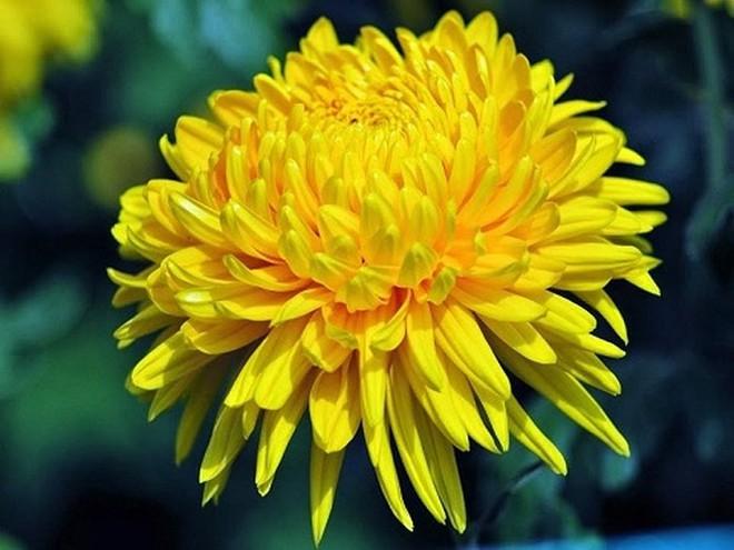 Các loại hoa ngày Tết mang lại may mắn và hạnh phúc cho gia chủ - Ảnh 9.