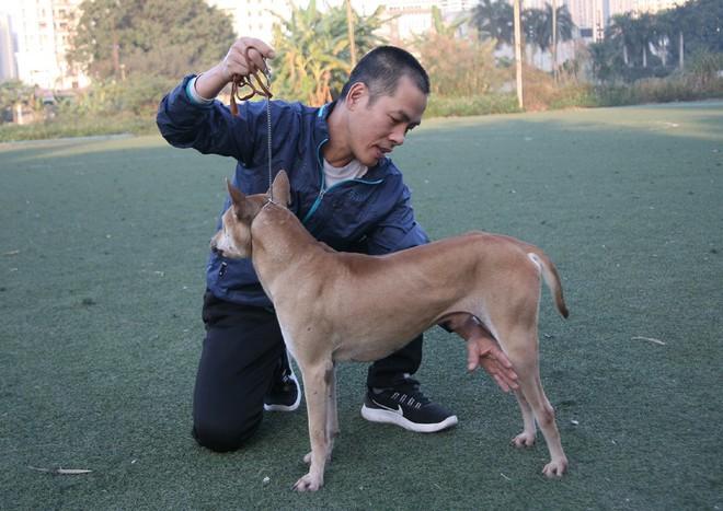 Gặp người đàn ông gắn bó với nghề nuôi chó Phú Quốc hơn 30 năm tại Hà Nội - Ảnh 7.