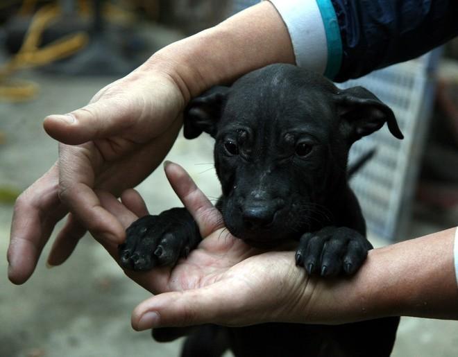 Gặp người đàn ông gắn bó với nghề nuôi chó Phú Quốc hơn 30 năm tại Hà Nội - Ảnh 5.