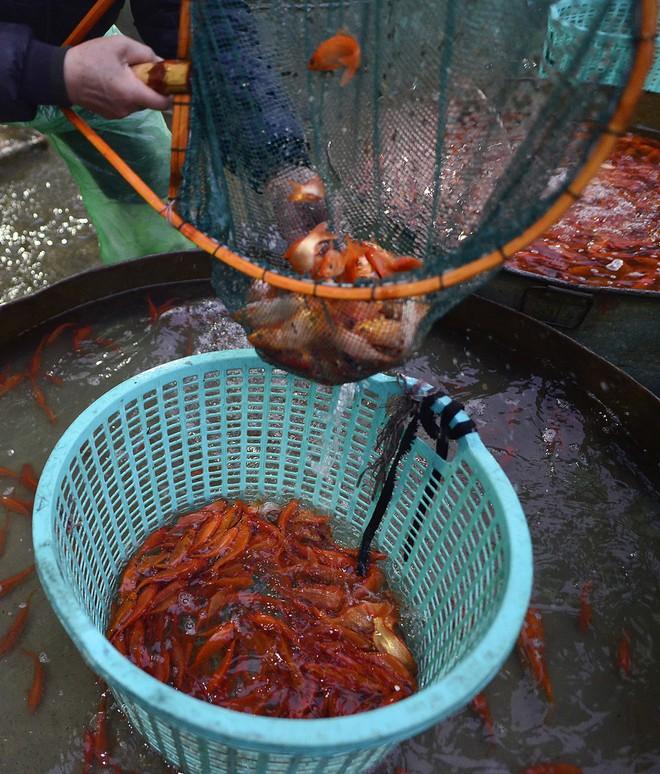 Hà Nội: Chợ cá chép đỏ nhộn nhịp trước ngày tiễn Táo quân về trời - Ảnh 13.