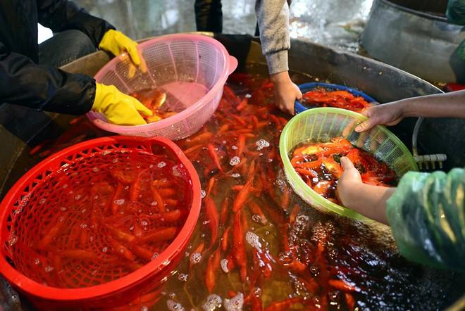 Hà Nội: Chợ cá chép đỏ nhộn nhịp trước ngày tiễn Táo quân về trời - Ảnh 4.