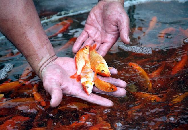 Hà Nội: Chợ cá chép đỏ nhộn nhịp trước ngày tiễn Táo quân về trời - Ảnh 15.