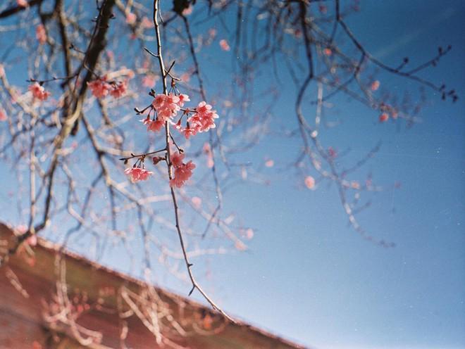 Lên Đà Lạt mùa này tuyệt như đi Nhật, có mai anh đào nở rộ rực hồng, trời lại rất xanh trong - Ảnh 9.