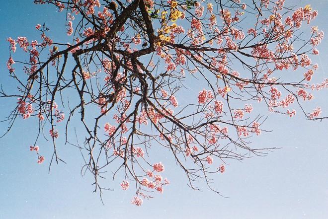 Lên Đà Lạt mùa này tuyệt như đi Nhật, có mai anh đào nở rộ rực hồng, trời lại rất xanh trong - Ảnh 7.