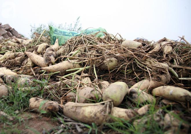 Hà Nội: Nông dân ngậm ngùi vứt bỏ hàng trăm tấn củ cải trắng vì không bán được - Ảnh 2.