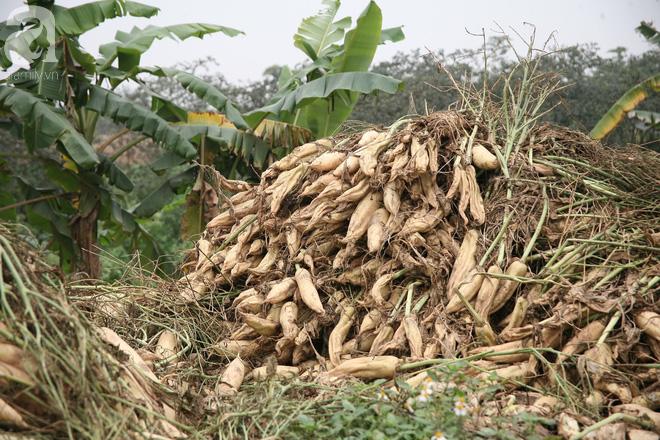Hà Nội: Nông dân ngậm ngùi vứt bỏ hàng trăm tấn củ cải trắng vì không bán được - Ảnh 3.