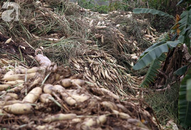 Hà Nội: Nông dân ngậm ngùi vứt bỏ hàng trăm tấn củ cải trắng vì không bán được - Ảnh 5.