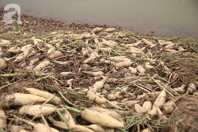 Hà Nội: Nông dân ngậm ngùi vứt bỏ hàng trăm tấn củ cải trắng vì không bán được - Ảnh 6.