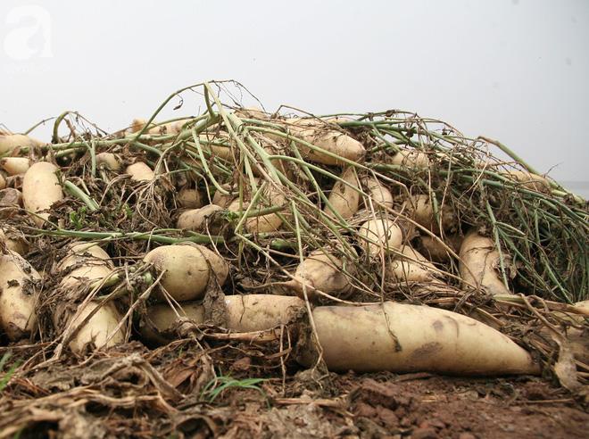 Hà Nội: Nông dân ngậm ngùi vứt bỏ hàng trăm tấn củ cải trắng vì không bán được - Ảnh 7.