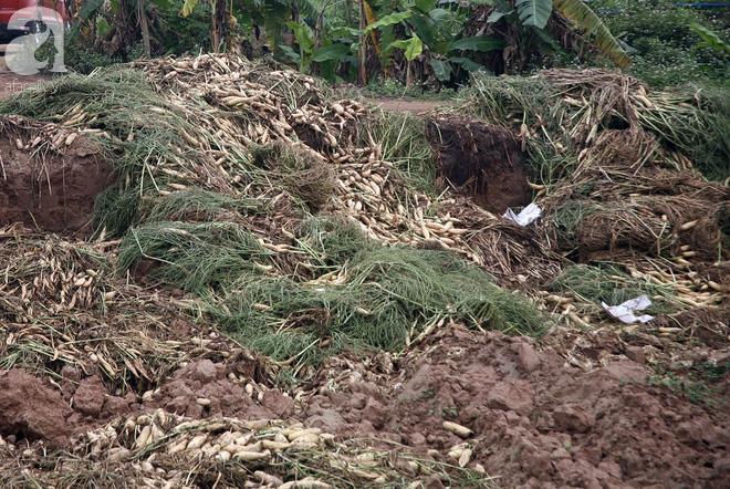 Hà Nội: Nông dân ngậm ngùi vứt bỏ hàng trăm tấn củ cải trắng vì không bán được - Ảnh 9.