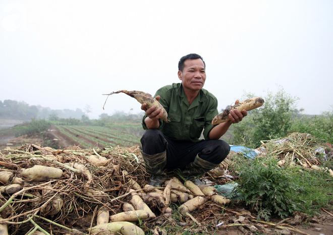 Hà Nội: Nông dân ngậm ngùi vứt bỏ hàng trăm tấn củ cải trắng vì không bán được - Ảnh 13.