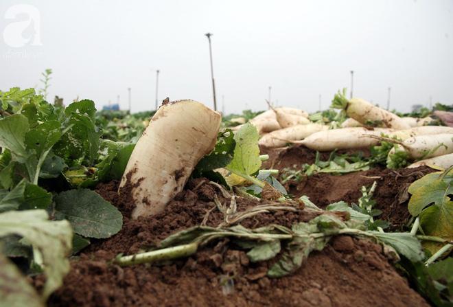 Hà Nội: Nông dân ngậm ngùi vứt bỏ hàng trăm tấn củ cải trắng vì không bán được - Ảnh 16.