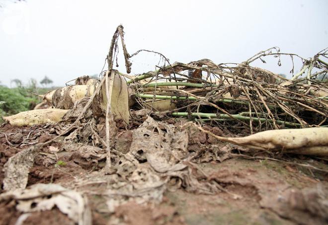 Hà Nội: Nông dân ngậm ngùi vứt bỏ hàng trăm tấn củ cải trắng vì không bán được - Ảnh 17.