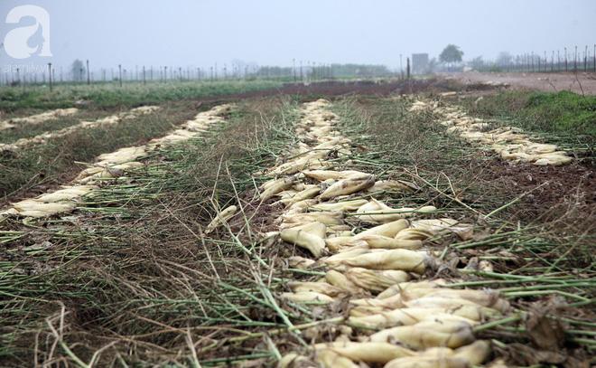 Hà Nội: Nông dân ngậm ngùi vứt bỏ hàng trăm tấn củ cải trắng vì không bán được - Ảnh 19.