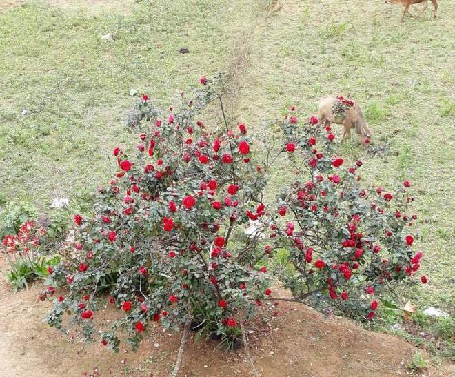 Công an trích xuất camera truy tìm chiếc xe ô tô vào vườn trộm cây hoa hồng 20 tuổi - Ảnh 4.