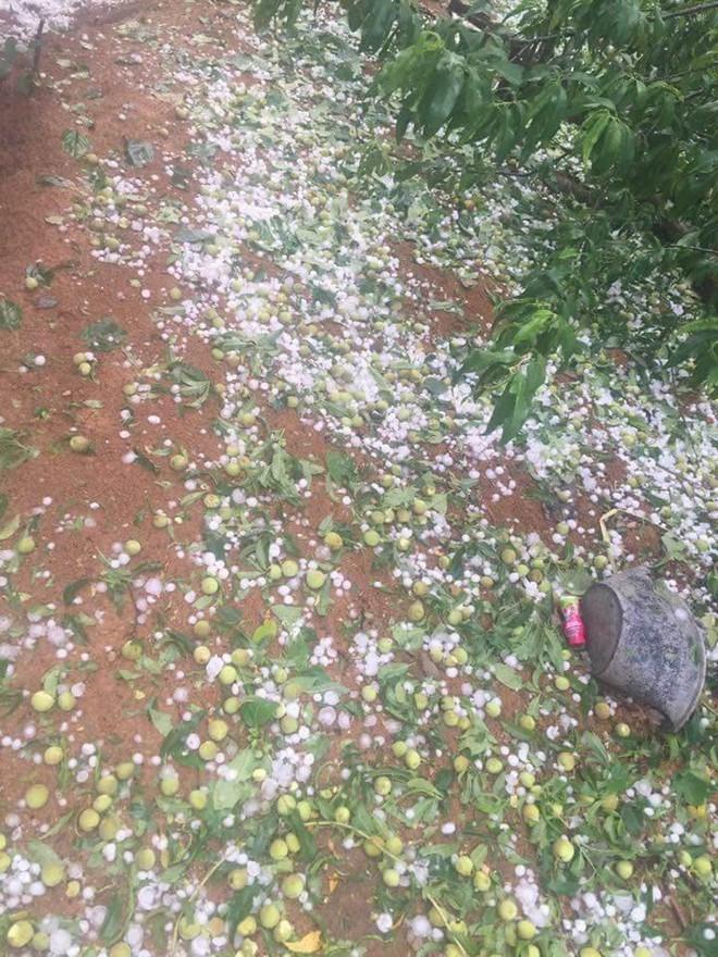 Người dân Mộc Châu có nguy cơ trắng tay vì đào, mơ rụng kín vườn sau cơn mưa đá - ảnh 1
