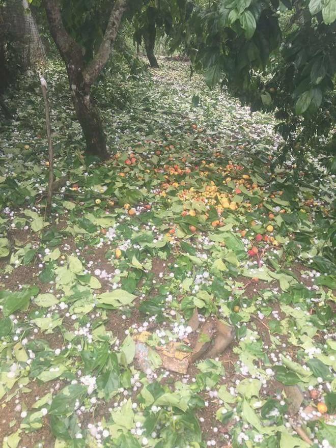 Người dân Mộc Châu có nguy cơ trắng tay vì đào, mơ rụng kín vườn sau cơn mưa đá - ảnh 3