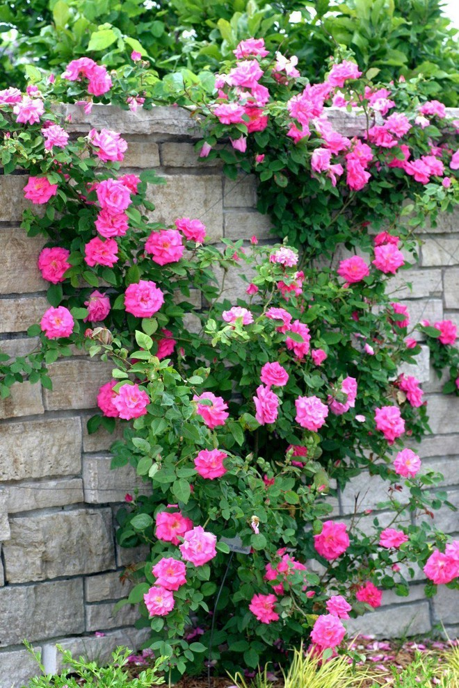 7 loài hoa hồng leo đẹp như những vũ công quyến rũ nên có mặt trong vườn của bạn - Ảnh 16.