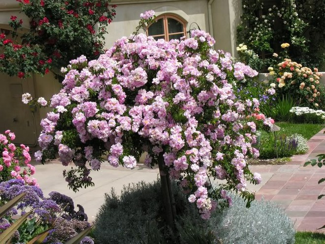 7 loài hoa hồng leo đẹp như những vũ công quyến rũ nên có mặt trong vườn của bạn - Ảnh 13.