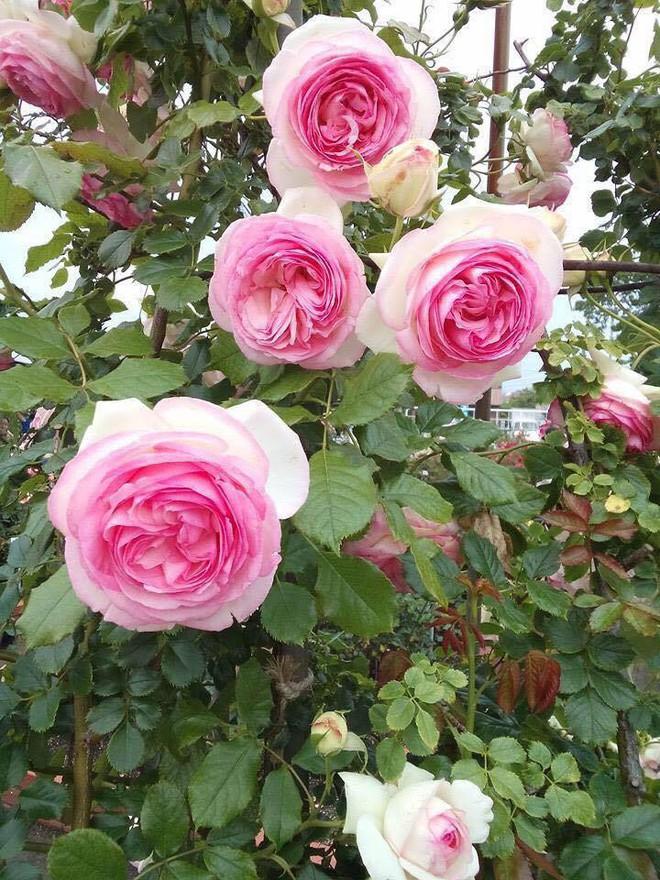 7 loài hoa hồng leo đẹp như những vũ công quyến rũ nên có mặt trong vườn của bạn - Ảnh 2.