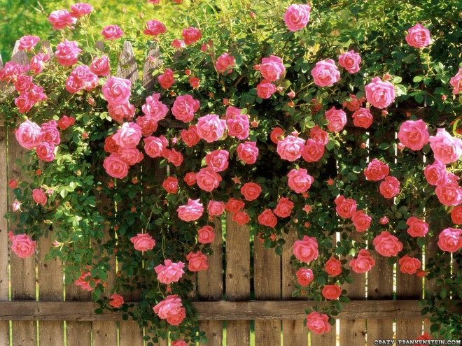 7 loài hoa hồng leo đẹp như những vũ công quyến rũ nên có mặt trong vườn của bạn - Ảnh 1.