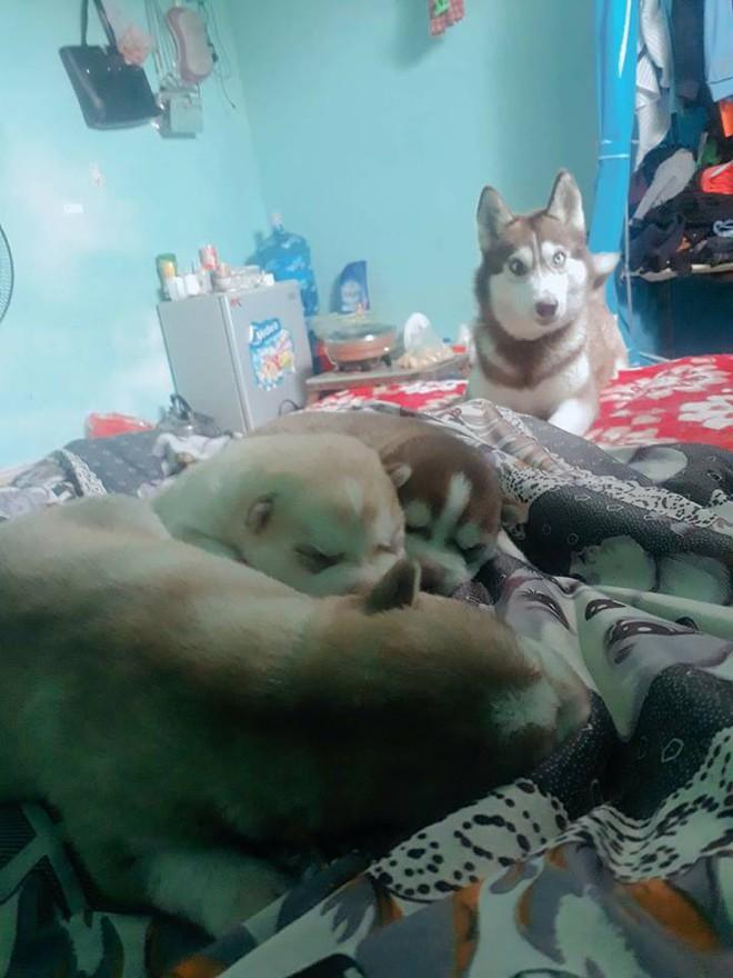 Vừa quen được 1 tháng, cô gái đã bị bạn trai bắt trộm cả 4 chú chó cưng Husky, nhắn tin đòi thì bị dọa tung clip nóng - Ảnh 2.