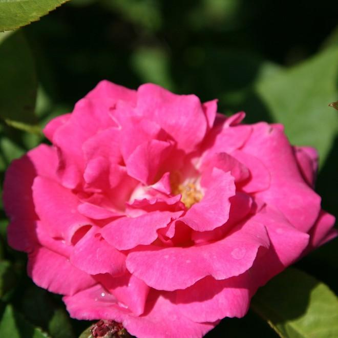 7 loài hoa hồng leo đẹp như những vũ công quyến rũ nên có mặt trong vườn của bạn - Ảnh 17.