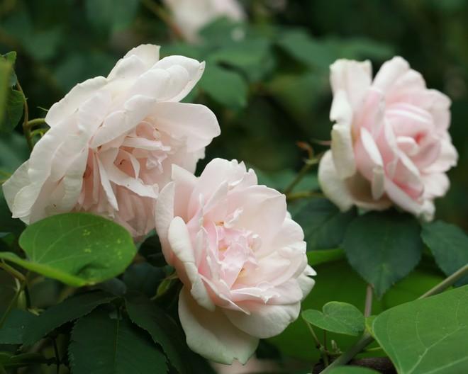 7 loài hoa hồng leo đẹp như những vũ công quyến rũ nên có mặt trong vườn của bạn - Ảnh 5.