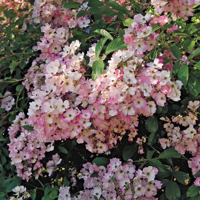 7 loài hoa hồng leo đẹp như những vũ công quyến rũ nên có mặt trong vườn của bạn - Ảnh 22.