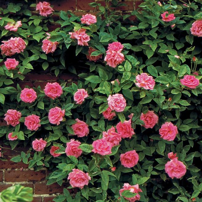 7 loài hoa hồng leo đẹp như những vũ công quyến rũ nên có mặt trong vườn của bạn - Ảnh 15.