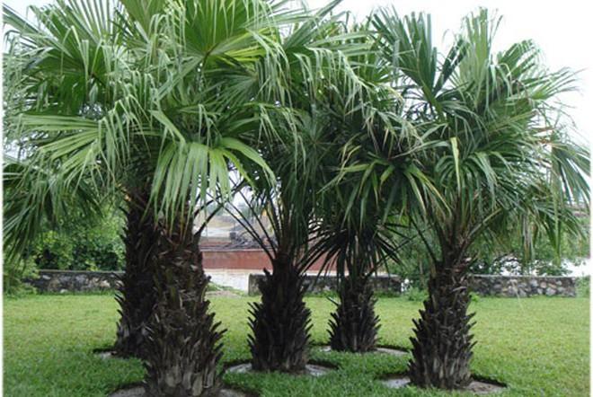 Trồng cây trước cửa nhà là điều cấm kị trong phong thủy nhưng có thể hóa giải bằng cách sau - Ảnh 2.