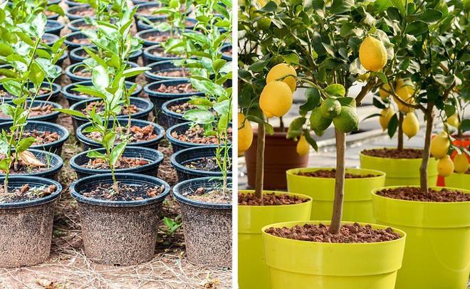 8 loại cây ăn quả có thể trồng từ hạt mà bạn nên trồng trong nhà mình - Ảnh 2.