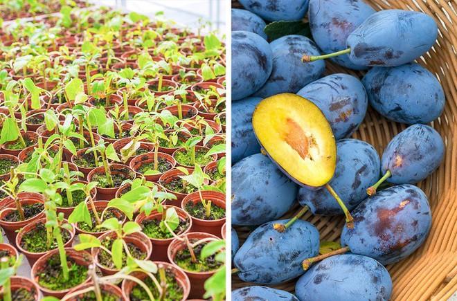 8 loại cây ăn quả có thể trồng từ hạt mà bạn nên trồng trong nhà mình - Ảnh 6.