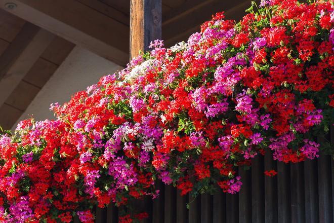 Ngất lịm với những ban công rực rỡ sắc hoa trong sắc hè   - Ảnh 6.