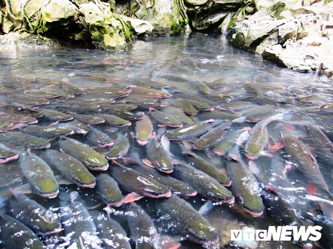 Giải mã chuyện chưa biết về loài cá khiến toàn dân miền tây Thanh Hóa coi trọng như thần - Ảnh 7.