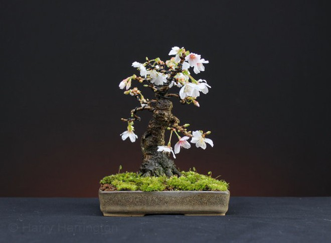 Ngất ngây với 15 chậu hoa bonsai mini siêu đẹp để trang trí nhà dịp Tết - Ảnh 8.