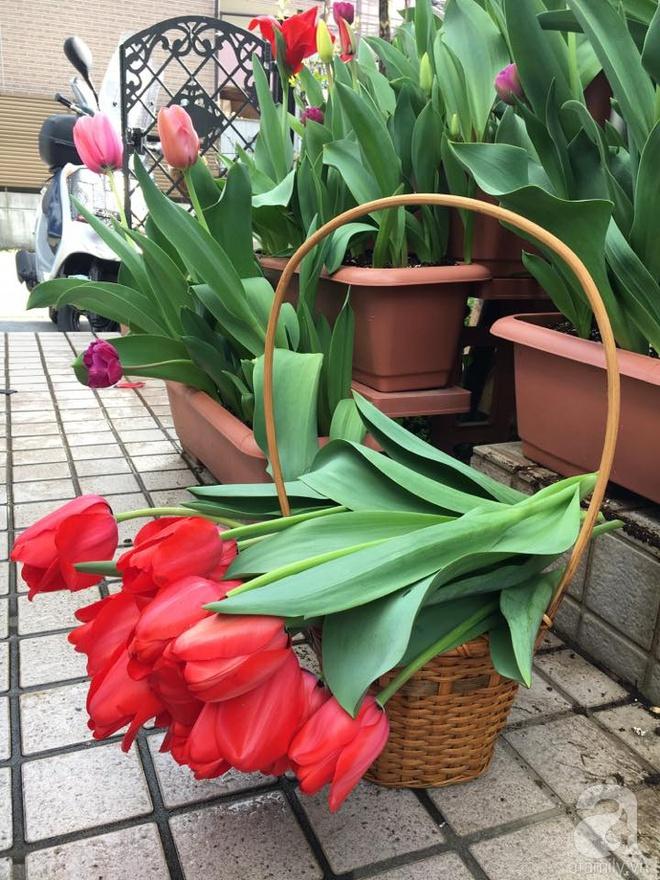 Nàng dâu Việt ở Nhật chỉ cách trồng tulip từ đất để hoa nở rực rỡ đón Tết - Ảnh 1.