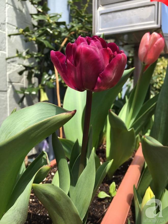 Nàng dâu Việt ở Nhật chỉ cách trồng tulip từ đất để hoa nở rực rỡ đón Tết - Ảnh 3.
