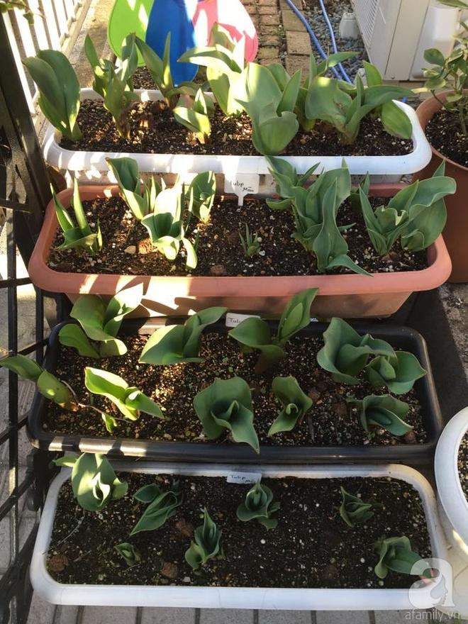 Nàng dâu Việt ở Nhật chỉ cách trồng tulip từ đất để hoa nở rực rỡ đón Tết - Ảnh 9.