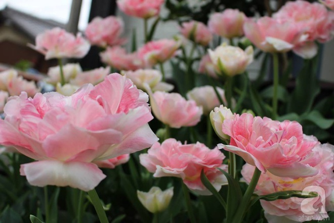 Nàng dâu Việt ở Nhật chỉ cách trồng tulip từ đất để hoa nở rực rỡ đón Tết - Ảnh 12.