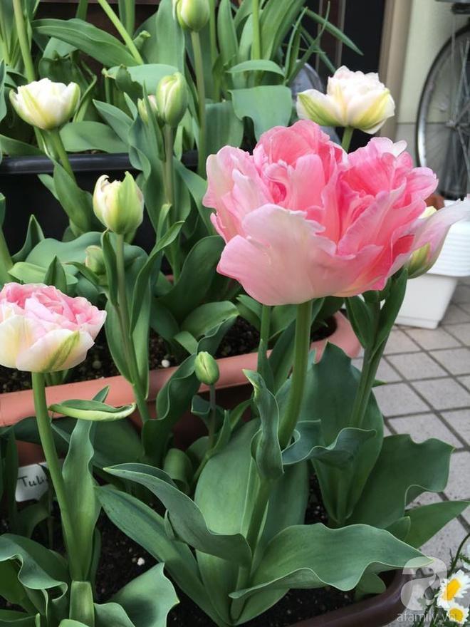 Nàng dâu Việt ở Nhật chỉ cách trồng tulip từ đất để hoa nở rực rỡ đón Tết - Ảnh 14.
