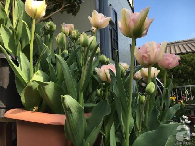 Nàng dâu Việt ở Nhật chỉ cách trồng tulip từ đất để hoa nở rực rỡ đón Tết - Ảnh 15.