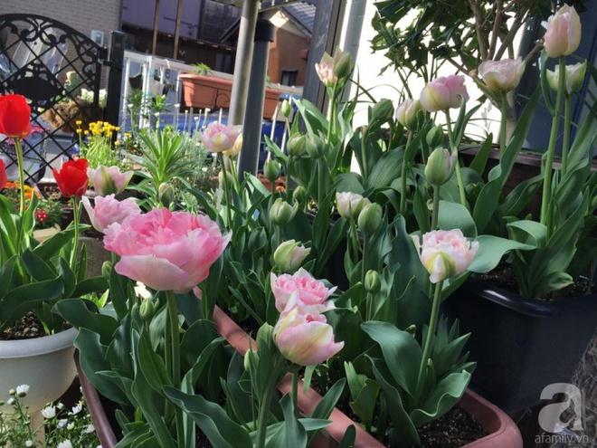 Nàng dâu Việt ở Nhật chỉ cách trồng tulip từ đất để hoa nở rực rỡ đón Tết - Ảnh 16.