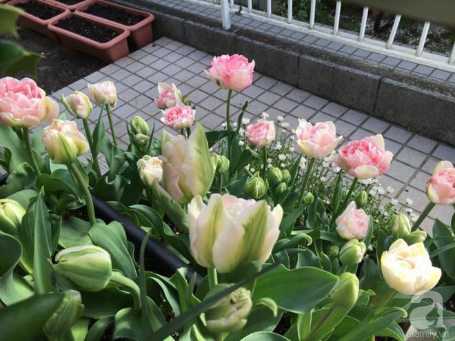 Nàng dâu Việt ở Nhật chỉ cách trồng tulip từ đất để hoa nở rực rỡ đón Tết - Ảnh 17.