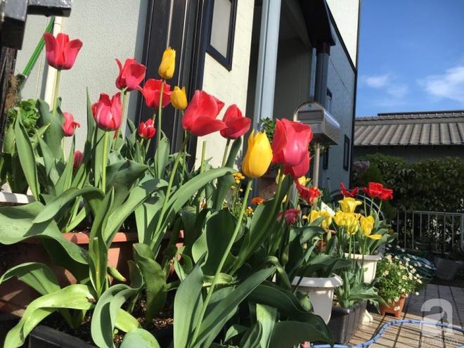 Nàng dâu Việt ở Nhật chỉ cách trồng tulip từ đất để hoa nở rực rỡ đón Tết - Ảnh 18.