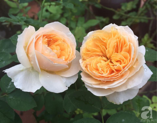 Mùng 1 Tết ghé thăm khu vườn hồng rực rỡ trồng trong chum vại độc đáo ở miền Trung - Ảnh 1.