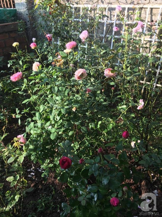 Mùng 1 Tết ghé thăm khu vườn hồng rực rỡ trồng trong chum vại độc đáo ở miền Trung - Ảnh 6.