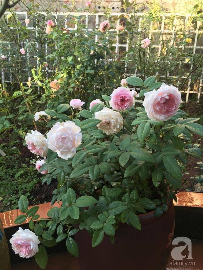 Mùng 1 Tết ghé thăm khu vườn hồng rực rỡ trồng trong chum vại độc đáo ở miền Trung - Ảnh 11.